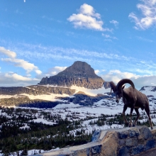 West Glacier National Park Ram