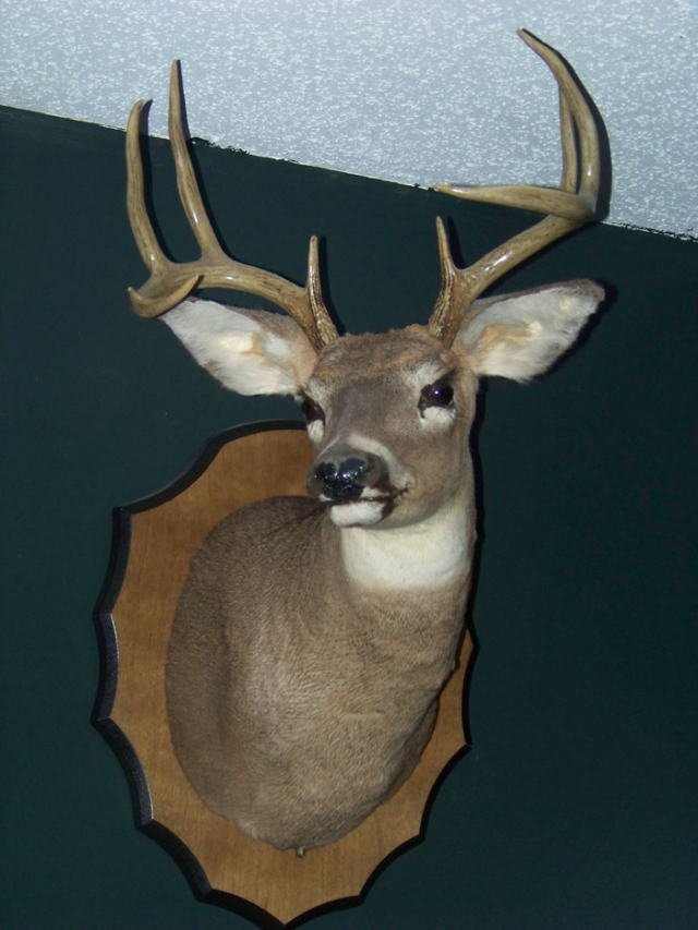 Whitetail Deer Mount (Side View)