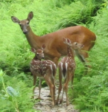 Whitetail Family